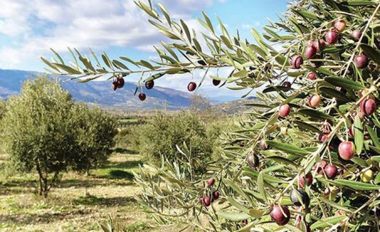 Konut inşaatları zeytinlikleri tehdit etmeye devam ediyor