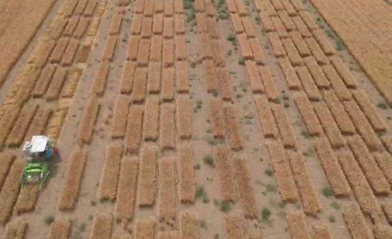 Tekfen Tarım Susuzluk Kaynaklı Kıtlık Riskine Karşı Arpa Bitkisini Islah Edecek