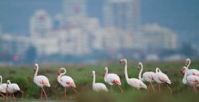 Flamingolar için, İzmir için nihai karar: İzmir Körfez Geçişi iptal edildi